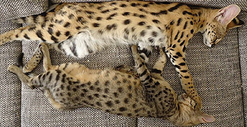 FL Savannahs | Savannah Cat Breeder | Florida